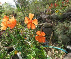 10/20 フシグロセンノウ 夏の花ですがが今でも咲き続けています。