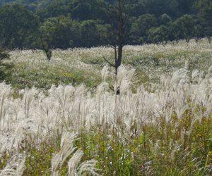 ススキ 郷原湿地の周りはススキの草原地元の人たちが、毎年春に山焼きをして木やササが生えないようこの草原を守っています。