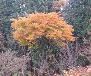 11/14 イタヤカエデの黄葉 今年は例年と違い赤みがさしている