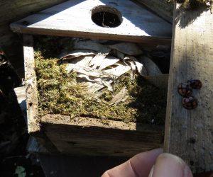 12/3 バードハウス 四十雀亜山雀の巣の上にネズミも巣、巣の中には5匹の子ネズミの死がい、親が何らかのトラブルに遭遇したのでしょう。
