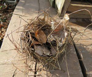 12/9 小鳥の巣 ニレケヤキの葉が落ちたらこんな巣がありました