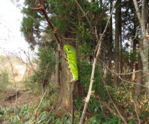 12/9 モンキアゲハの幼虫 葉の落ちた山椒にしがみついていました。果たして無事に蛹になることが出来るのでしょうか?