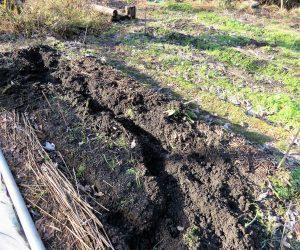 12 /25  イノシシの被害  冬でもイノシシが畑を掘り返します