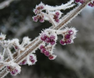 12 /31  ムラサキシキブの実  霧の朝気温が氷点下に下がるとじゅひょうができます。