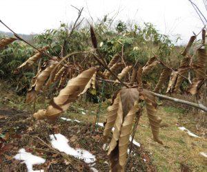 1/4  ブナの枯葉  ブナは枯葉が遅くまで枝についています。 新芽が出てもまだ残っていることも。