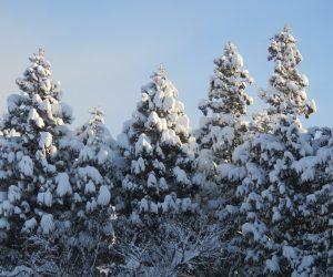 2/12  防風林のヒノキに着雪