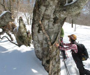 【スノーシュー巨木探索ツアー】 ビッグファイブの一つ