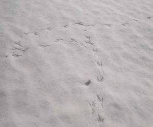 2/22 キジの足跡 烏と同じくらいの大きさですが烏は時々2足跳びをしますがキジは交互歩きだけです