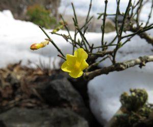 2/27 黄梅 鉢植えの黄梅が咲き始めました