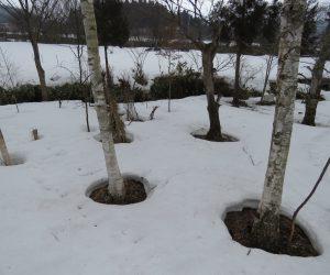 3/6   雪解け 木の周りから雪が消えていきます。