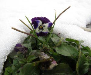 3/9    雪ノ下からパンジーの花が