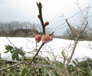 3/9    梅はまだ蕾 昨年は2月のうちに咲き始めたのですがね