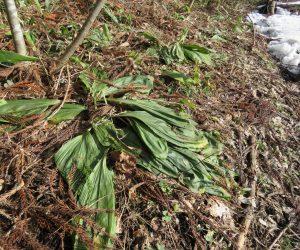 3/10    エビネ 雪が消えたばかりの時はこんな感じ、雪が消えて花芽が伸び始めると遅霜の被害を受けます。