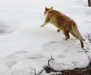 3/10    蒜山の猫は雪の上でも平気で歩く