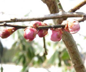 3月22日 梅花 梅がようやくほころんできました。 去年より2か月遅れています。