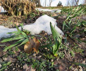 3月22日 水仙 雪の下から推薦の花芽が