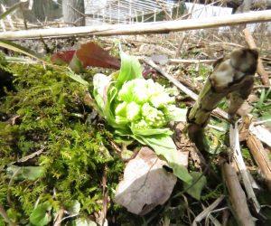 3月24日 フキノトウ 雪が消えたらフキノトウ、霜が降りるので早くとらねば、ワラビと同じで雪に弱い。