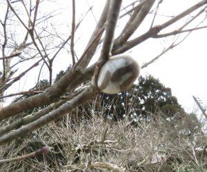3月25日 イラ蛾の蛹