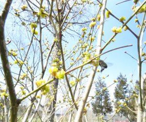 4/3 ダンコウバイにミツバチ  ダンコウバイは甘い香り