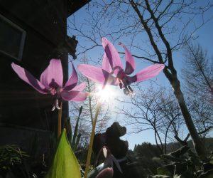 4/13 カタクリ 茅部野 蒜山のカタクリは4月末頃になりそうです