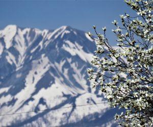 4/16 残雪の大山とタムシバ 大蛇付近より コブシより早く咲きます。 標高599m以上にタムシバ、500m以下にコブシが自生、500前後で混生、タムシバの方が早く咲くので白い花が山から下界へ降りてくる感じになります。