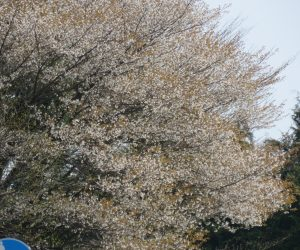4/20 山桜 茅部野にて 山桜の花は白いのですが染井吉野と違い葉が花と一緒に出るので葉の色を花の色と錯覚します。