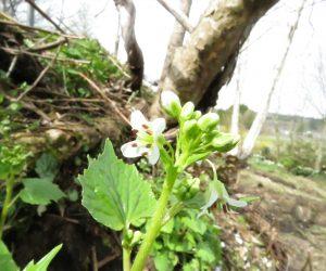 4/20 ワサビの花 蒜山盆地の南側、中国山地の山麓にはワサビが自生しています。