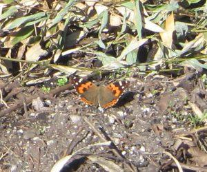 4/13 アカタテハ 茅部野にて、成虫で越冬するので他の蝶に先駆けて姿を見せます、