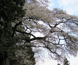 4/21 蒜山の山桜の銘木 岩桜