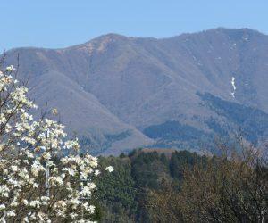 4/23 上蒜山の残雪とコブシ