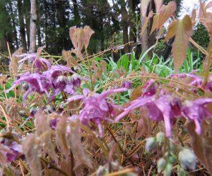 4/26  イカリ草 蒜山のイカリ草は常盤イカリ草、雪の多い日本海側の種です