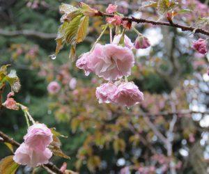 4/26  八重桜