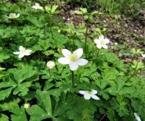 4/27  二輪草 これは食用可、しかしトリカブトの芽吹きと時期が同じなので採取しない方が無難