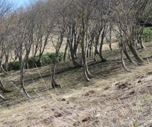 4/28  擬宝珠山麓の樹林 豪雪地帯なのでみなこんなかんじではえています