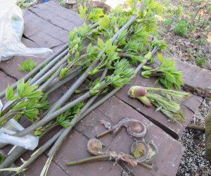 4/28  コシアブ、ラタラの芽、ゼンマイ コシアブラは庭に植えてあります、伸びすぎないよう剪定を兼ねて枝を切っています