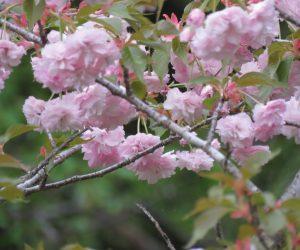 5/4 八重桜
