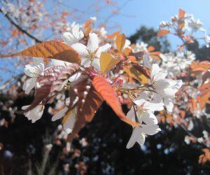 4/22 山桜