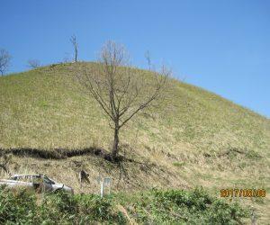 5/8  鳩ヶ原 今年は山焼きをしませんでした。 残雪がいつまでも残っていたからです。