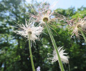 5/22 翁草の綿毛 翁草は種を採取してすぐにまかないと発芽しません