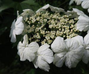 5/26 カンボクの花 装飾花はかなり遅くまで残ります、葉は大きく三列、