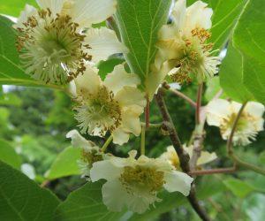 6/12 キュウイの花(雌花)  中国サルナシの改良で生まれたとの事、日本のサルナシが男木の代わりになるかな?