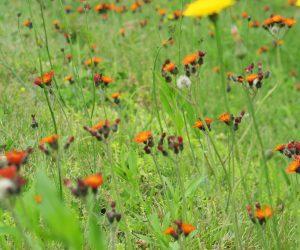 6/12 ブタナとコウリンタンポポ  どちらも帰化植物、牧草の種と一緒に蒜山へ移住して来たようです。