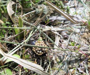 山野草観察会 コオイムシ メスが雄の背に卵を産み付ける