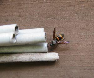 6/20 オオカバフスジバチ  泥蜂の仲間、パイプの中に間仕切りのある巣を作ります、後から産んだ卵が先に羽化して出てきます。