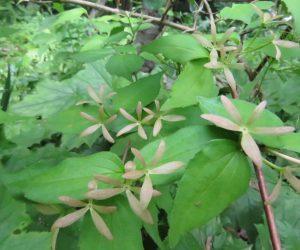 6/20 ツクバネウツギのガク  花が落ちたガクが羽根つきの羽根にそっくり