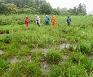 7/9 オロヶ乢山野草観察会  葦の侵入が年々ひどくなっている。