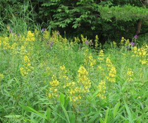 7/10 犬挟湿地保護活動  クサレダマと野花菖蒲 今年は例年になくクサレダマが多い、鎌でヨシを刈り取っている効果が出て来たようだ。
