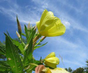 6/26 オオマツヨイグサ  アメリカよりの帰化植物ですが日本の夏によく合いますね
