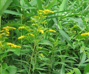 7/23   オオアワダチソウ  北米よりの帰化植物、セイタカアワダチソウの仲間