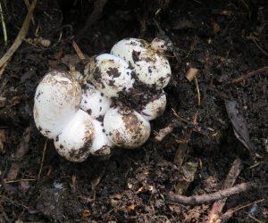 7/31 蛇の卵(シマヘビ)蛇は卵を産みっぱなしではなく孵化するまで見守っています、掘りあげてしまった時そのままにしておくと加えて堆肥の中に隠しました。